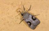 Noctuidae; Noctuinae; Eriopygini; Hypotrix lunata  9647.jpg