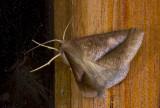 Geometridae; Ennominae; Bassania sp. ?  9651.jpg