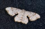 Uraniidae; Epipleminae  9652.jpg