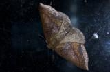 Geometridae; Ennominae; Bassania sp. ?  9658.jpg