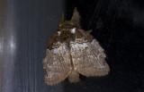Lasiocampidae; Macromphaliinae; Euglyphis sp.?  9661.jpg