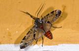 Erebidae; Arctiinae; Praeamastus cymothoe?  9677.jpg