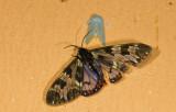Erebidae; Arctiinae; Arctiini; Dysschema palmeri?  9678.jpg