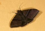 Erebidae; Erebinae; Ophiusini; Ophisma tropicalis?  9679.jpg