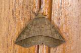 Erebidae; Eulepidotinae; Panopodini; ?  9681.jpg