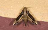 Sphingidae; Macroglossinae; Xylophanes sp.  9687.jpg