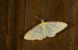 Geometridae; Larentiinae; Eois sp.?  9708.jpg