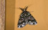 Geometridae; Ennominae; Cargolia pruna?  9709.jpg
