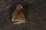 Notodontidae; Hemiceratinae; Herbita sp.?  0760.jpg