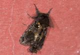 Notodontidae; ?  0765.jpg