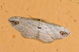 Geometridae; ?  0768.jpg
