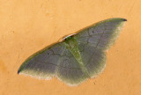Geometridae; Geometrinae; Phrudocentra sp.?  0769.jpg