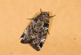 moth  n0771.jpg