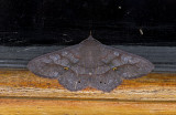 Erebidae; Calpinae; Chamyna lamponia?  0776.jpg