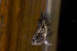 Notodontidae; ?  0781.jpg
