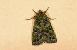 Noctuidae; Hadeninae; Heterochroma sp.?  0782.jpg