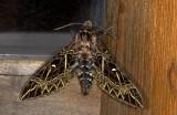 Sphingidae; Sphinginae; Euryglottis oliver?  0792.jpg