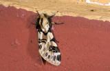 Erebidae; Arctiinae; Arctiini; Hypercompe sp.?  0802.jpg