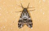 Erebidae; ?  0803.jpg