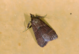 Pyralidae; Chrysauginae; Caphys sp.?  0807.jpg