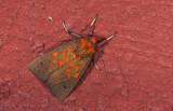Erebidae; Arctiinae; Melese sp.  0813.jpg