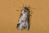 moth  n0815.jpg