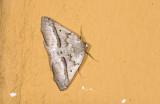 Geometridae; Ennominae; Sabulodes nivisparsa?  0817.jpg