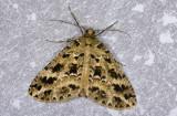 Geometridae; Ennominae; Melanolophia sp.?  0819.jpg