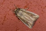 Noctuidae; Noctuinae; Leucania sp.?  0825.jpg