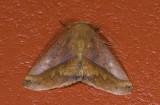 Geometridae; Ennominae; Bassania sp.  0827.jpg