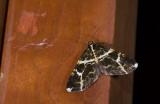 Geometridae; Ennominae; Melanoscia sp.  0832.jpg