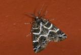 Geometridae; Ennominae; Cargolia arana?  0841.jpg