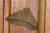 Erebidae; Eulepidotinae; Panopodini; ?  0848.jpg