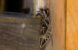 Sphingidae; Sphinginae; Euryglottis oliver?  0868.jpg