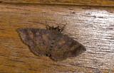 Erebidae; Eulepidotinae; Antiblemma sp.?  0870.jpg