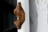 Geometridae; Ennominae; Pero sp.?  9719.jpg
