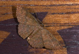 Geometridae;  1018.jpg