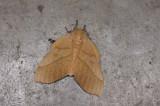 Saturniidae; Ceratocampinae;  Syssphinx molina  1021.jpg
