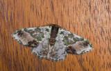 Geometridae; Geometrinae; Lophochorista ockendemi  1032.jpg