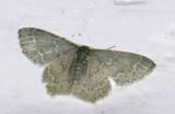 Geometridae; Chloropteryx aff paularia  1034.jpg