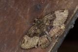 Noctuidae; Catocalinae; Ramphia sp. ?  1056.jpg