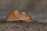 Notodontidae; Hemiceratinae; Hemiceras rufescens?  9879.jpg