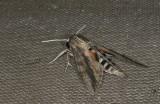 Sphingidae; Macroglossinae; Erinnyis ello  9886.jpg