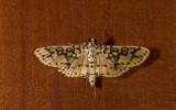 Crambidae; Spilomelinae; Asturodes fimbriauralis  9890.jpg