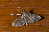 Crambidae; Spilomelinae?  9899.jpg