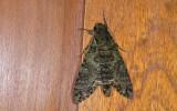 Sphingidae; Sphinginae; Manduca sp.?  9902.jpg