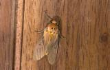 Erebidae; ?  9909.jpg