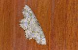 Geometridae; Sterrhinae; Trygodes musivaria?  1080.jpg