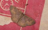 moth  g1084.jpg