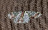 Geometridae; Geometrinae; Lophochorista ockendemi  1093.jpg